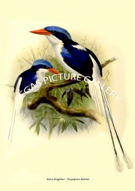 Fine art print of the Kaioa Kingfisher - Tanysiptera Sabrina by  the artist Johannes Gerardus Keulemans (1868-1871)
